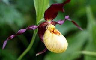 Орхидея Венерин башмачок: описание с фото, уход в домашних условиях