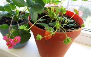Клубника на балконе: выращивание круглый год, подходящие сорта, посадка и уход