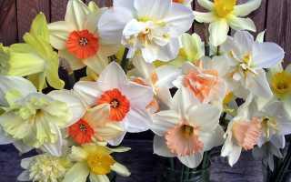 Что делать с нарциссами, которые отцвели: уход за растением после цветения