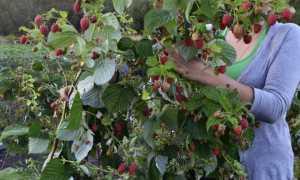 Малина Марсела: описание сорта, преимущества и недостатки, уход, урожайность, фото, отзывы