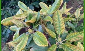 Почему краснеют листья у рододендрона: у листопадного и вечнозелёного, причины, лечение покраснения листьев