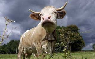 Глаза коровы: строение и цвет, фото