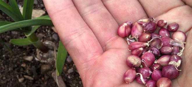 Посадка бульбочек чеснока под зиму: основные правила, особенности ухода и выращивания, полезные рекомендации, видео