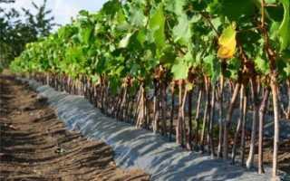 Когда лучше сажать виноград: весной или осенью, оптимальные сроки, основные правила