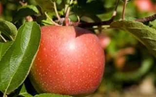 Яблоня Кортланд: описание и характеристика сорта, выращивание и уход, фото