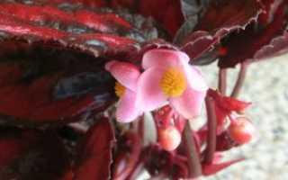 Бегония краснолистная: описание, полезные свойства и фото комнатного растения, уход в домашних условиях, размножение