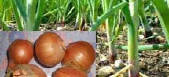 Какие витамины присутствуют в луке: химический состав и свойства лука