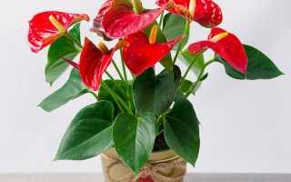 Антуриум Андре (комнатные растения): уход в домашних условиях, пересадка, фото