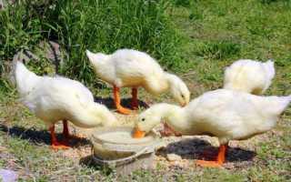 Можно ли кормить хлебом домашних уток: черным, белым, с плесенью