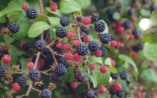 С чем рядом можно сажать ежевику: совместимость с другими растениями и культурами