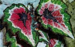 Бегония королевская: виды, названия и описание с фото, уход и размножение комнатного растения в домашних условиях