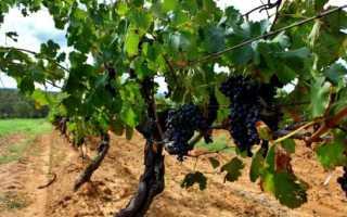 Сорт винограда Шираз: особенности сорта, методы ухода, полезные свойства, фото