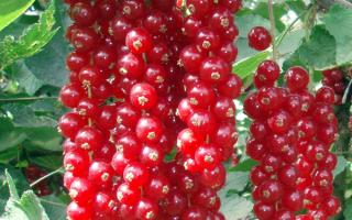 Сорт поздней крупноплодной красной смородины Голландская розовая: внешний вид, особенности и описание сорта, фото, отзывы