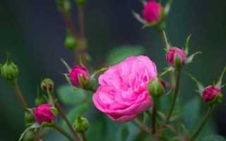 Как вырастить розу из семян в домашних условиях: основные правила, плюсы и минусы выращивания, фото, видео
