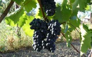 Рубин Голодриги: описание и характеристика сорта винограда, особенности выращивания в домашних условиях, фото, отзывы