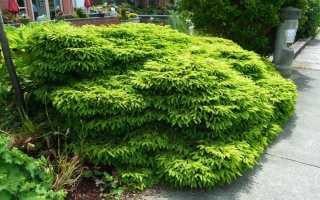 Ель обыкновенная Медуза (Picea abies Medusa) на штамбе: описание и фото, уход за деревом, использование в ландшафтном