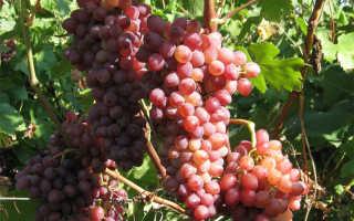 Кишмиш Лучистый описание сорта винограда, характеристика, отзывы