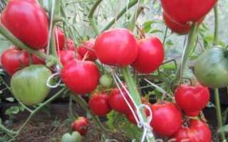 Томат Данко: характеристика и описание сорта, фото, урожайность, посадка и уход