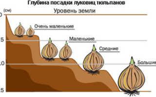 Посадка тюльпанов осенью, в каком месяце и как высадить луковицы под зиму, на какую глубину