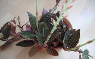 Орхидея лудизия: уход в домашних условиях, фото, размножение