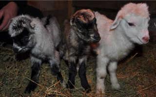 Козы породы ламанча: описание с фото и общая характеристика, как правильно разводить, сколько дают молока