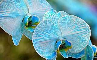 Голубая орхидея – существует ли в природе, фото сорта, отзывы