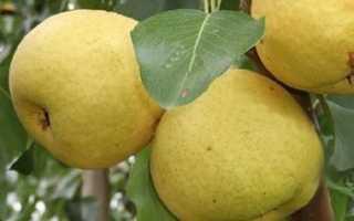 Груша Москвичка: описание и характеристика сорта, выращивание и уход, фото