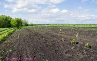 Промышленное выращивание малины: особенности посадки и ухода, урожайность, размножение
