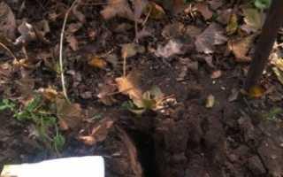 Уход за смородиной осенью: обрезка и подкормка, подготовка к зиме, обработка от вредителей
