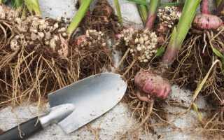 Когда выкапывать гладиолусы осенью в Подмосковье после цветения в открытом грунте, на зиму, как хранить