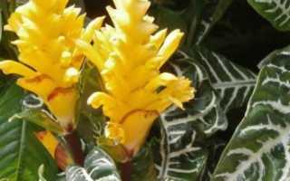 Афеландра оттопыренная: фото и описание, выращивание и уход в домашних условиях