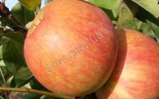 Яблоня сорта Бребурн: описание и особенности, плюсы и минусы, выращивание и уход, фото, отзывы