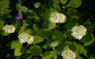 Почему у гортензии мелкие цветы: что делать, если соцветия мельчают и рыхлые, если сформировался плоский цветок
