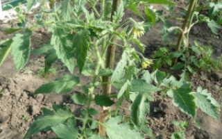 Почему не цветут помидоры в теплице: причины, что делать, особенности ухода