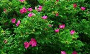 Пересадка шиповника весной, летом и осенью на другое место, как и когда можно выкапывать куст для пересадки