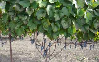 Виноград «Амурский»: описание сорта, фото, посадка и уход