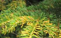 Почему засыхают и осыпаются иголки у ели, что делать при пожелтении ёлки