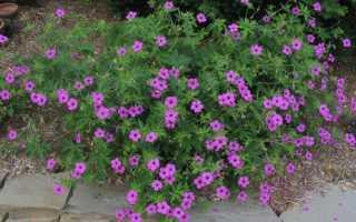 Герань садовая: виды и сорта с названиями, особенности посадки, выращивания и ухода, видео, фото