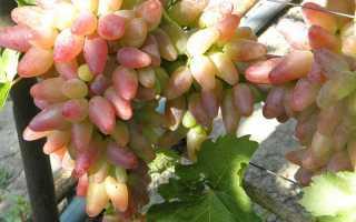 Виноград Оригинал (розовый, чёрный, белый): описание сорта, фото, отзывы