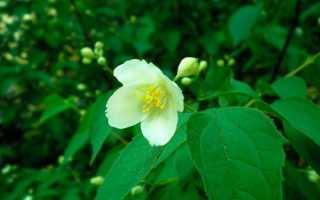 Жасмин венечный Вариегатус (Variegatus): ботаническое описание, посадка и уход, фото