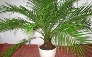 Финик Робелена: описание и характеристика растения, способы и особенности выращивания и ухода в домашних условиях