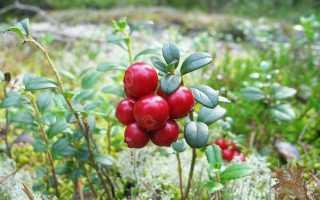 Лучшие сорта брусники садовой: описание с фото, посадка, выращивание, уход