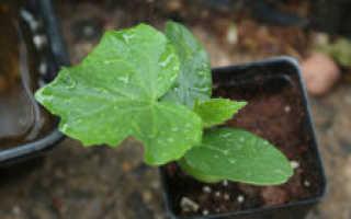Когда и как садить огурцы на рассаду