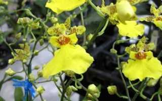 Орхидея онцидиум: уход и содержание в домашних условиях, фото, пересадка
