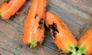 Почему морковь червивая: причины, методы борьбы и лечения