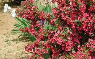 Вейгела гибридная Бристоль Руби (Bristol Ruby): описание, посадка и уход в открытом грунте, использование в ландшафтном дизайне,