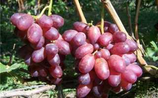 Виноград Шахиня Ирана: характеристика сорта, выращивание и уход, фото
