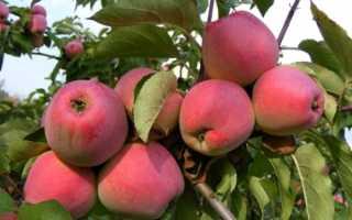 Яблоня Кандиль орловский: описание и характеристика сорта, особенности посадки и ухода за деревом, фото, отзывы