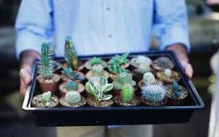 Как правильно ухаживать за кактусом в горшке в домашних условиях: полезные советы для начинающих
