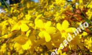 Жасмин голоцветковый, выращивание в открытом грунте: посадка и уход, преимущества и недостатки сорта, фото
